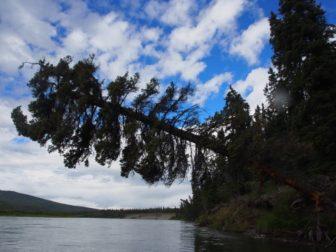 夫婦でユーコン川を川下り 〜 ヤマアラシと嵐、天気悪めの11・12・13日目。